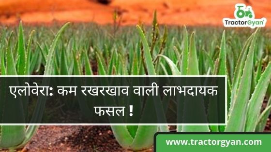Aloe Vera: A low maintenance yet a profitable crop!